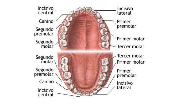 Tipos de piezas dentales. ¿Cuáles son sus funciones?