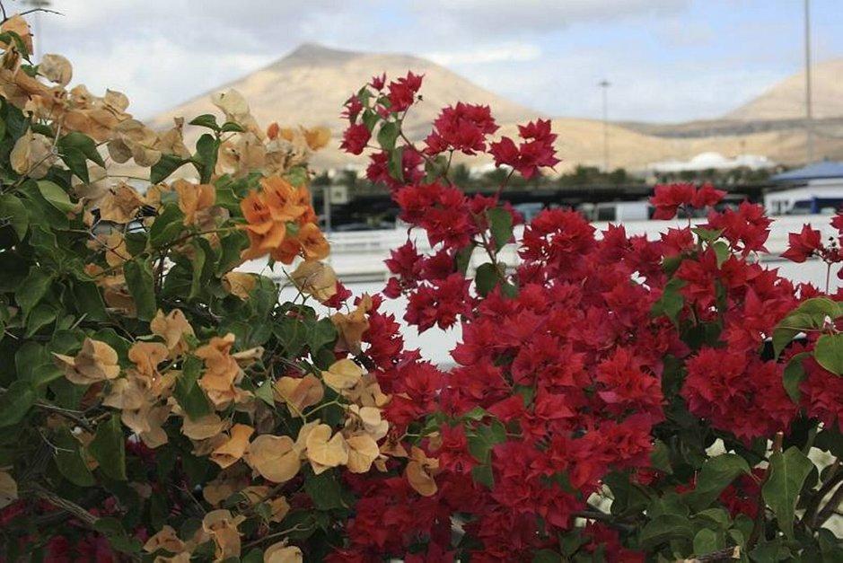 Lanzarotella vuoret ja kukat kuuluvat yhteen.