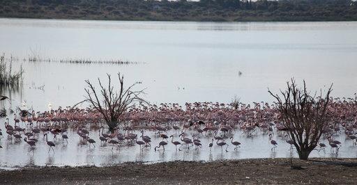 Junan jatkaessa matkaa Kimberleysta matkailijat saavat ihastella satoja vaaleanpunaisia flamingoja.