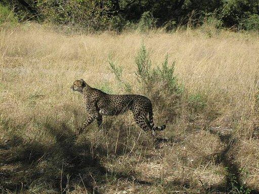 Gepardi on Afrikan nopein juoksija.