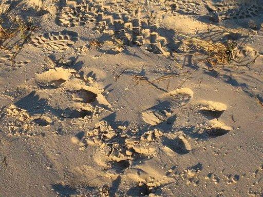 Virtahevon jälkiä hiekassa.