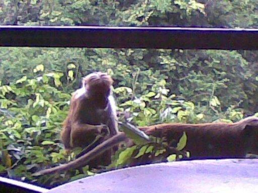 Hotellihuoneen parvekkeella seikkailevat apinat eivät anna matkailijoiden häiritä itseään.