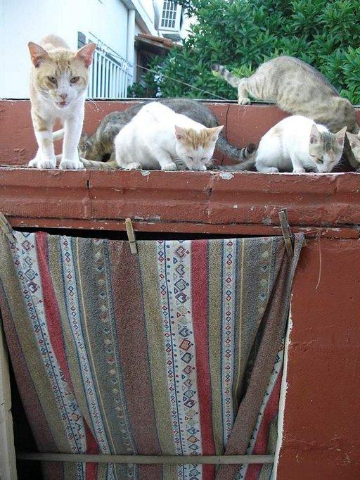 Kissakokous Kimin kylän kujalla.