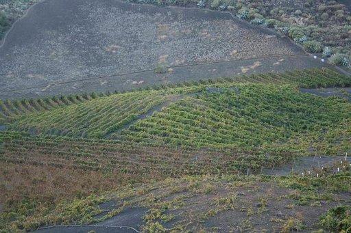 Viiniviljelmä Gran Canarian vulkaanisella maaperällä.