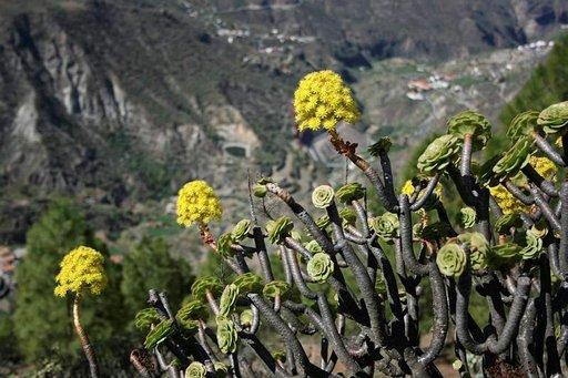 Tabaiba- ja aeonium-kasvit kestävät pitkiä aikoja ilman vettä.