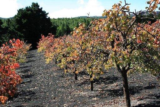 Päärynäviljelmä vuoristossa.