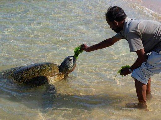 Hellyttävät kilpikonnat nousevat merestä päivittäin paikallisten ruokittaviksi.