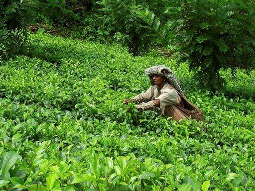 Hikkaduwalta voi vierailla lähistön teeplantaaseilla tai vaikkapa Yalan kansallispuistossa.