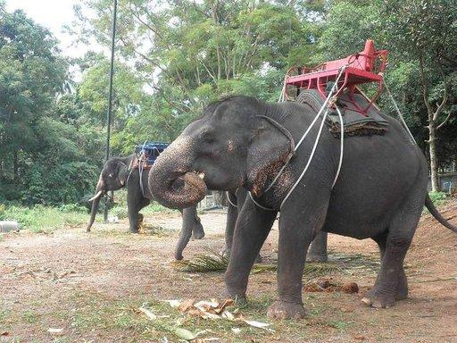 Elefanttikyyti Koh Samuilla.