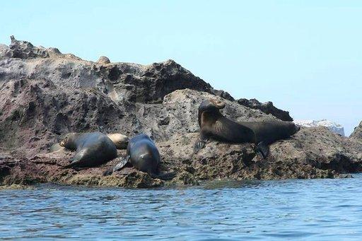 Kalaa on viime aikoina riittänyt, koska merileijonat eivät näytä erityisen nälkiintyneiltä.