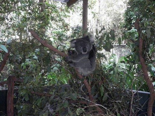 Koala eläinpuistossa.