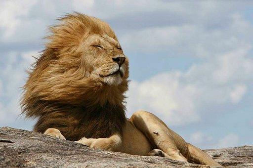 Serengetin leijona.