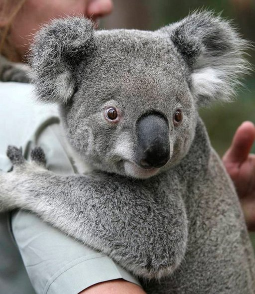 Koala Australiassa.