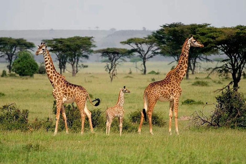 Kirahviperhe Serengetissä.