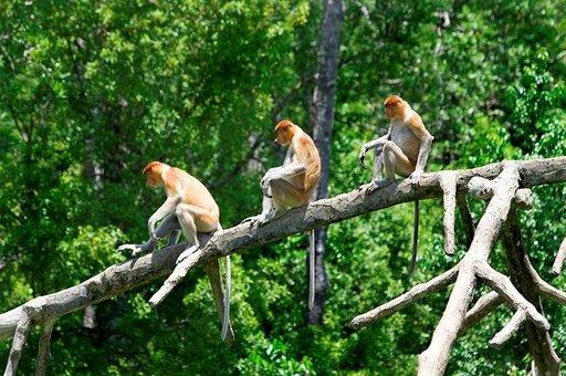 Nenäapinoita Borneossa.