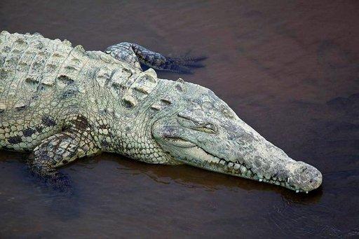 Krokotiili lepää auringon lämmössä.