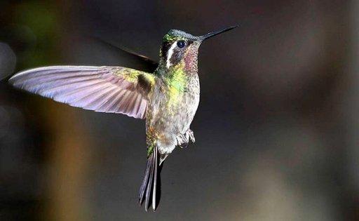 Kolibrit viihtyvät Monteverden rehevässä pilvimetsässä.