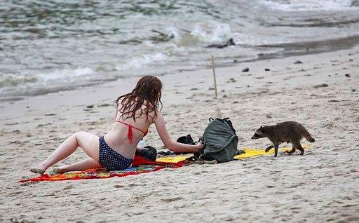 Mapaches on tunnettu röyhkeistä rantarosvoista.