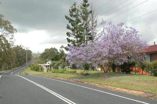 Jakaranda kukkii ennen lehtien puhkeamista. Puu on yleinen eri puolilla Australiaa, mutta alunperin jakaranda on kotoisin Etelä-Amerikasta.