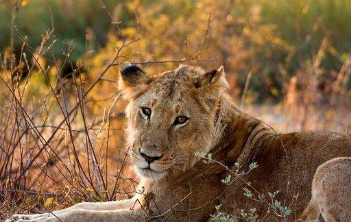 Krugerin kansallispuiston tarjontaan kuuluvat myös leijonat.