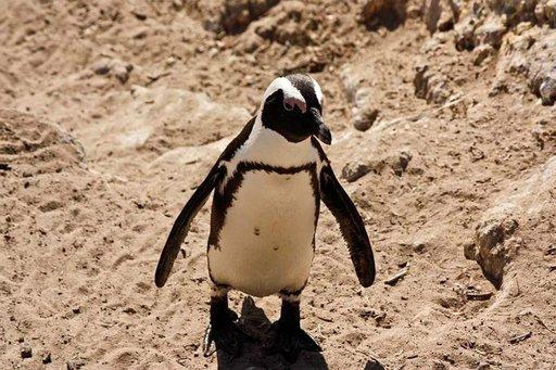 Pingviinejä näkee useilla rannoilla kuten Kapkaupungin lähellä Boulder Bayssä.
