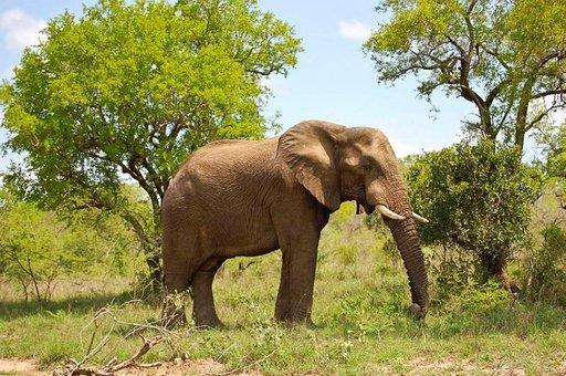 Yksi Krugerin kansallispuiston huippuhetkistä on villien norsujen kohtaaminen.