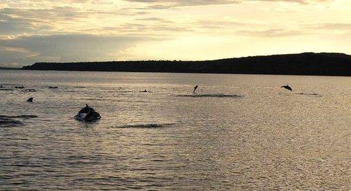 Delfiinit seuraavat alusta matkalla Plazasin saarelle.