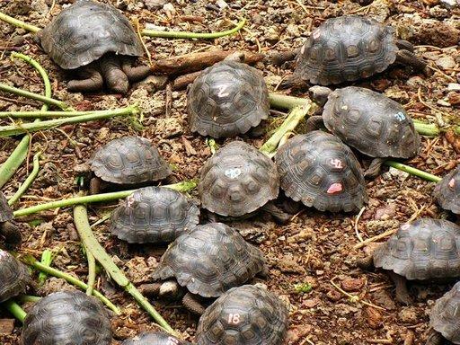Jokainen hautumossa syntyvä kilpikonna saa tunnistenumeron.