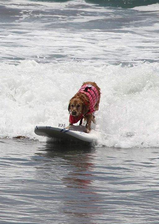 Koiratkin harjoittelevat surffausta Coronadon rannalla.