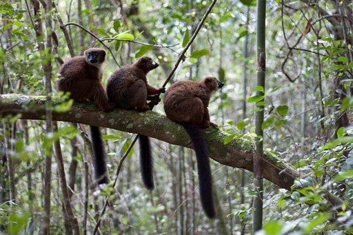 Punavatsalemurit päästävät ihmiset todella lähelle. Kaikki lemurilajit ovat uhanalaisia, koska madagaskarilaiset ovat syöneet niitä huonon ravintotilanteen vuoksi.