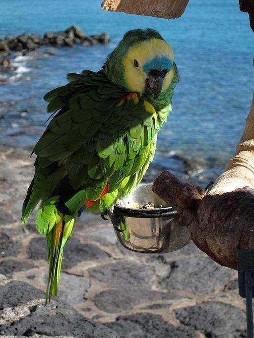 Papukaija tervehtii tuttuja Playa Blancan rantakadulla.