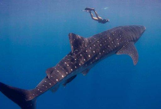 Keväisin valashait vaeltavat Bay-saarten läpi Meksikon rannikolle. Muutaman viikon ajan niitä voi nähdä myös Utilan läheisyydessä.