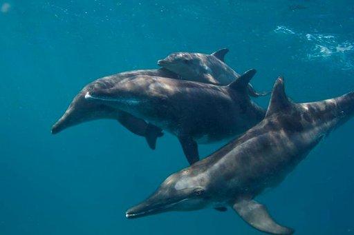 Hyvänä päivänä voi päästä uimaan iloisten delfiinien kanssa. Delfiinit ovat usein uteliaita, eivätkä pelkää ihmisten läheisyyttä.