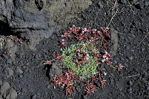 Saponaria sicula kuuluu Etnan kotoperäiseen kasvistoon. Se on sukua Suomessa yleisesti koristekasvina käytettävälle suopayrtille. Kukka on Etnan kansallispuiston tunnus.