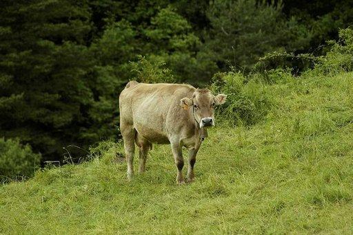 Vapaana käyskenteleviin lehmiin törmää tämän tästä Pyreneiden vuorten rinteillä
