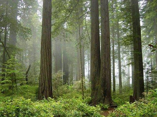 Redwoodin kansallispuisto tarjoaa majesteettisen kokoisia puita.