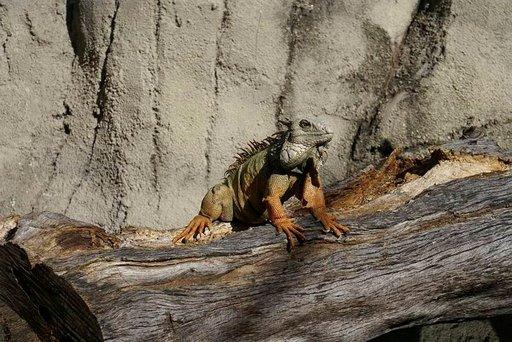 Iguaanit ovat sopeutuneet liiankin hyvin Etelä-Floridan luontoon.
