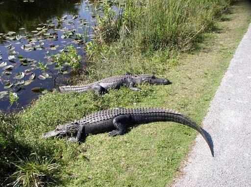 Alligaattorit loikoilevat tiellä Sharek Valleyn osassa kansallispuistoa