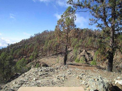 Lohduton näky vielä vuodenvaihteessa, utta kanarianmänty on sinnikäs puu ja aloittaa uuden kasvun metsäpalon jälkeenkin.