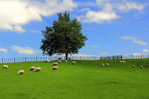 Uuden-Seelannin Pohjoissaaren tyypillinen maisema on vehreää kumpuilevaa mäkimaastoa, jolla lampaat laiduntavat.
