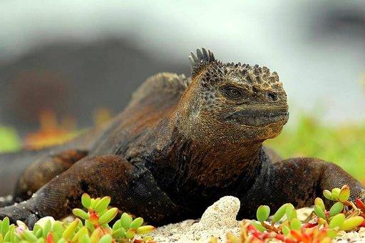 Merileguaani on yksi Galapagossaarten erikoisimmista eläimistä.
