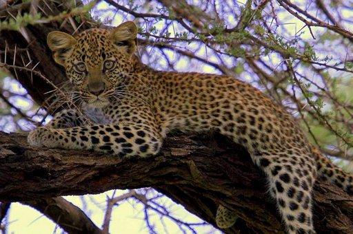 Samburun kansallispuistossa Keniassa kökötti leopardin pentu puussa seuraten ohiajavia matkailijoita.