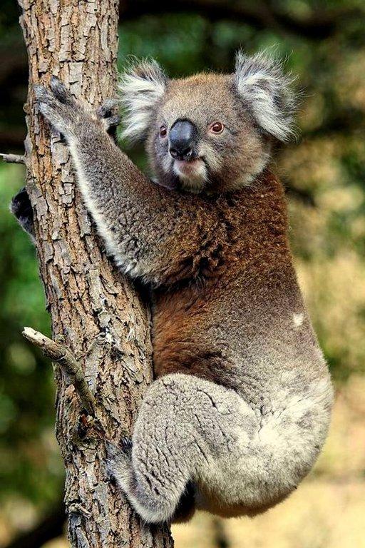 Koalat ovat Australian suosituimpia nähtävyyksiä. Karvakorva oli laskeutumassa alas puusta.