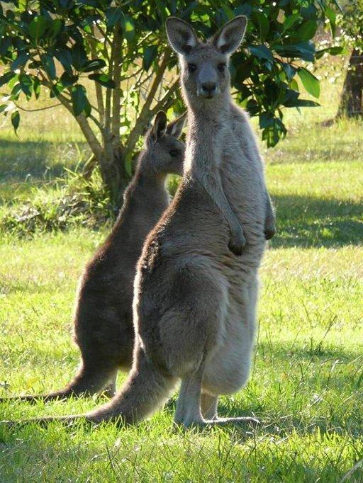 Currumbin Wildlife Sanctuary esittelee Australian eksoottisia eläimiä.