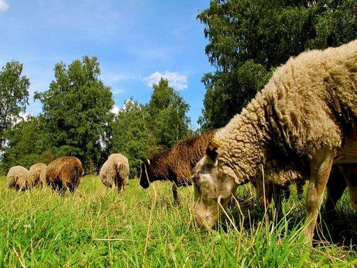 Lampaat laiduntavat kesäisin Vehmaanniemessä.