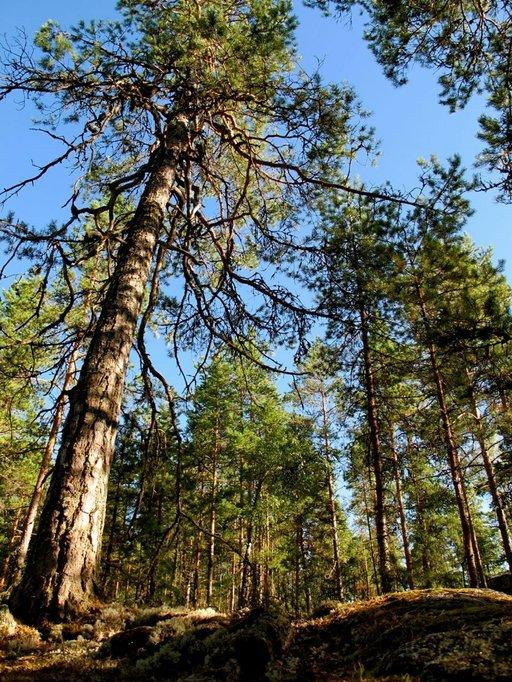 Pirunvuoren metsäpoluilla kulkiessa mieli lepää.