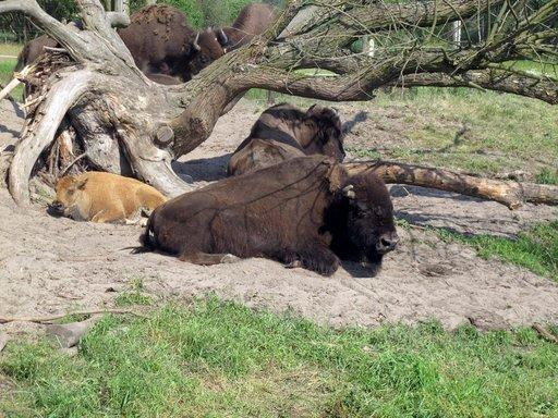 Helteisenä päivänä biisonit hakeutuvat mielellään pieneenkin varjoon.
