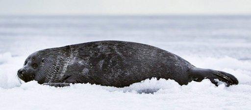 Hylkeet ovat oleellinen osa Baikaljärven ekosysteemiä.