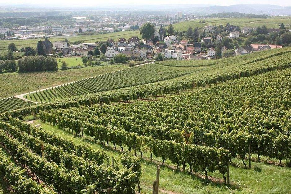 Rieslingin vilejlyä Rheingaun laaksossa. Taustalla Johannisbergin kylä