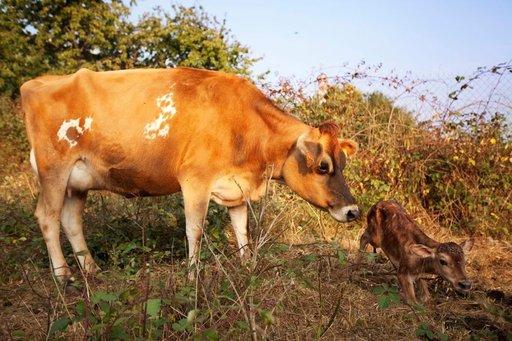 Aulnaysin maatilalle syntyy joka vuosi nelisenkymmentä uutta vasikkaa.